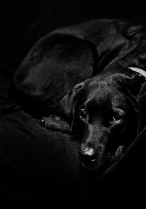 The Black Lab by Delacorr