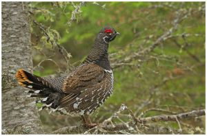 Spruce Grouse by Ryser915