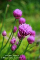 Purple Flowers on Chives by Sharpeshots