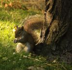 Eastern Gray Squirrel by toshema