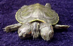 2 Headed 5 Leg Freak Turtle 4 by DETHCHEEZ