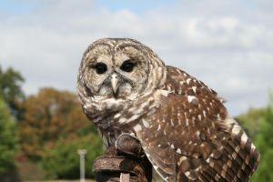 Barred Owl 08 by Sphinx47