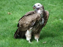 Vulture 01 by MixedStock