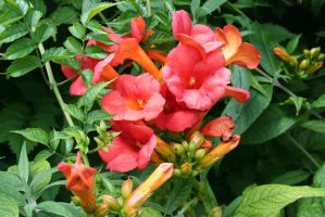 The Trumpet Vine by SongDancer