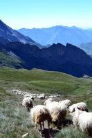 La course de moutons by Aude-la-randonneuse
