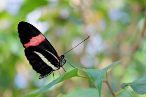 Small Postman Butterfly by ParadoxGirl411
