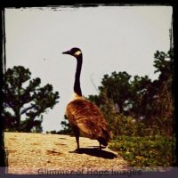Duck, Duck, Goose by GlimmerofHopeImages