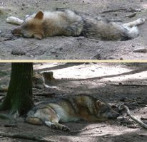 sleeping wolves by two-ladies-stocks