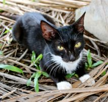 Lifou Kitty by MissSpocks