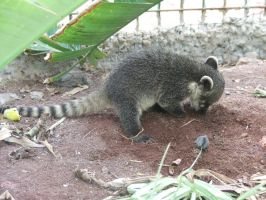 Ring-tailed Lima by TimeWizardStock