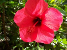 Hibiscus by SvenIsMyHomeboy