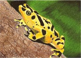 Day 22: Golden Arrow Poison Frog by whitetippedwaves