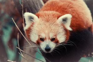 Red Panda by MattPike47
