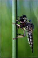 Robber Fly by UffdaGreg