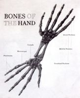 Hand Anatomy by tranmonster