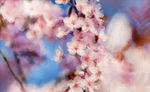 Cherry Blossoms by foreverrocksta