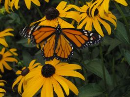 yellow flowers and yellow butterfly by Nipntuck3