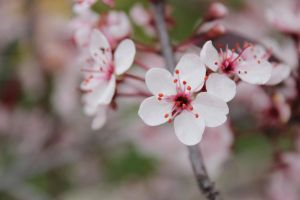 White cherry blossom by Kimicat1