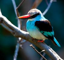 Blue-Breasted Kingfisher ll by deseonocturno