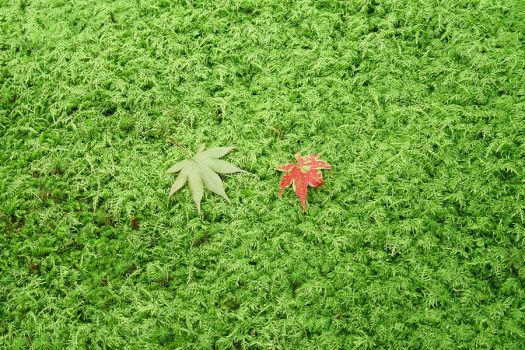 Japanese Leaves by wykazox