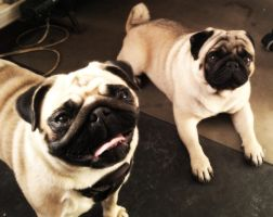 pugs by Linnlovebird5