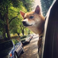 Shiba Head by ForrestFoxes