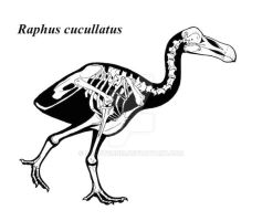 Raphus skeleton by Pachyornis