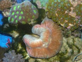 red open brain coral by LilleahWest
