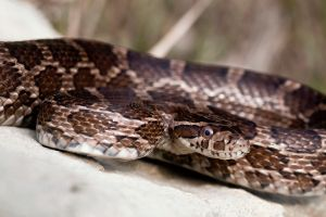 Great Plains Rat Snake by ribbonworm