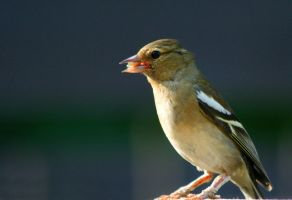 Female Chaffinch by Tinap