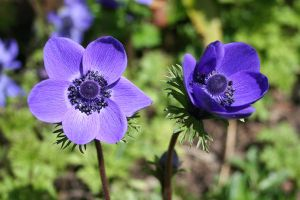 anemones by evelynzee