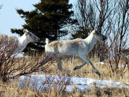 Caribous on the run 1 by LucieG-Stock