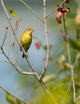 Yellow Warbler - Female by JestePhotography