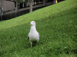 seagull by izzy-rox13