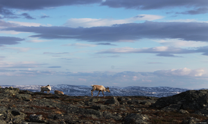 Reindeer on top of a fell by Shwonky