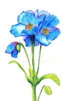 Himalayan poppy by kaittt