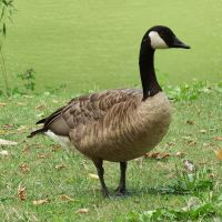 Canada Goose 1 - Central Park by wildplaces