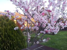 Cherry Blossoms by Bethany00