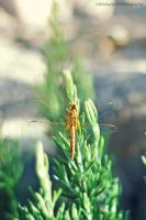 Dragonfly by Kimberly-M
