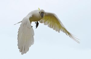 Sulphur Crested Cockatoo 90 by chezem