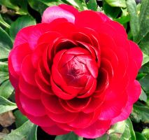 red as rose by marlene-stock