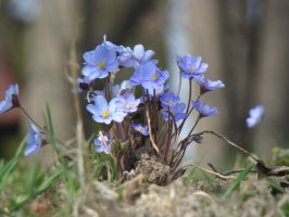 Blue spring flowers by blueionis