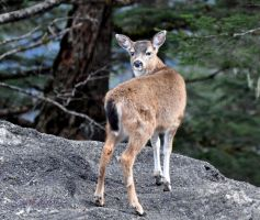 Young Sitka Blacktail Deer by AlaskaGrl
