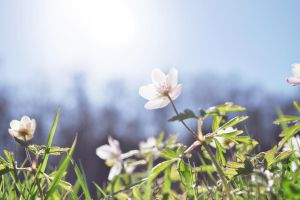 Wood Anemone by LotsOfLowe