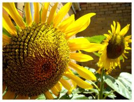 Sunny Sunflower by paolo91