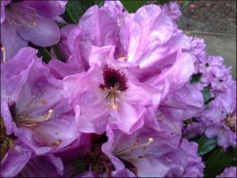 Rhododendron 4 by MadleneP