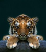 4foot tiger long by thewindwarrior