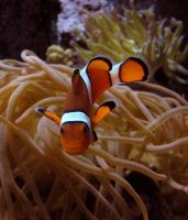 Clownfish Stock 1 by HOTNStock