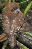 Brown Owl 2 by shhhhh-art-Stock
