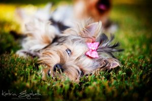 Yorkshire Terrier 2 by Katrin-Elizabeth